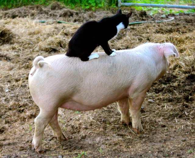 豚の上に乗る猫