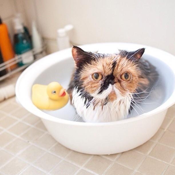 湯船にゆっくり浸かる猫