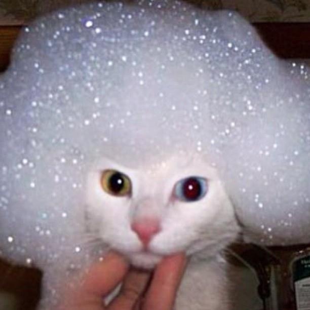 ホワイトアフロな猫