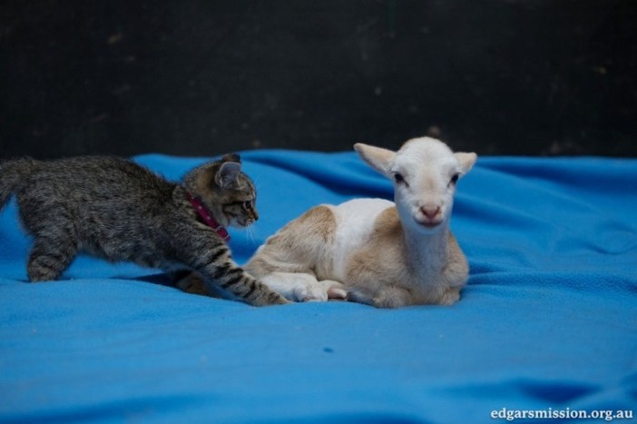 仲良しなヤギと子猫