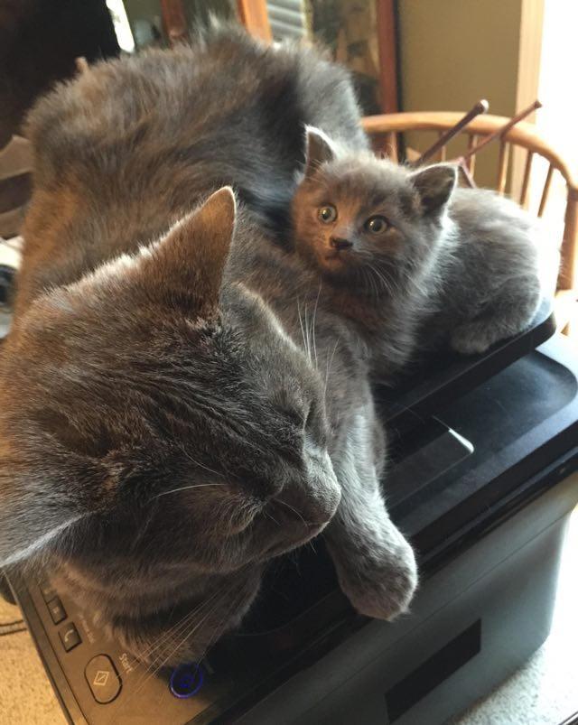 プリンターの上の猫
