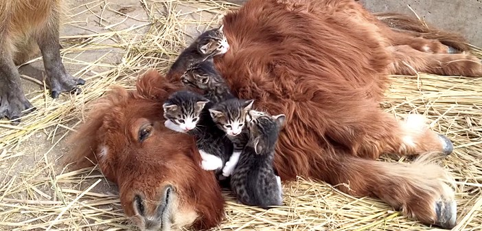 ミニチュアホースと子猫とカピバラ