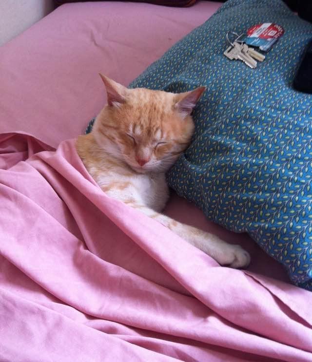 枕で眠る猫