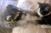 猫と友達になりたいアライグマ