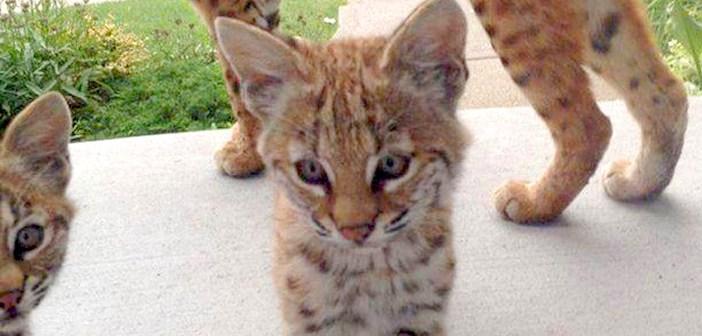 ボブキャットの子猫