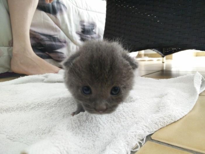 丸い顔の子猫