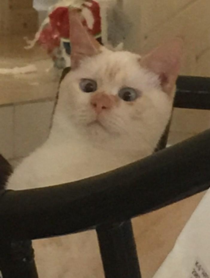動揺する猫