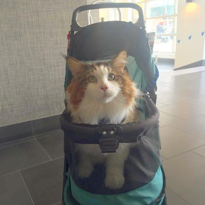 ベビーカーに乗る猫