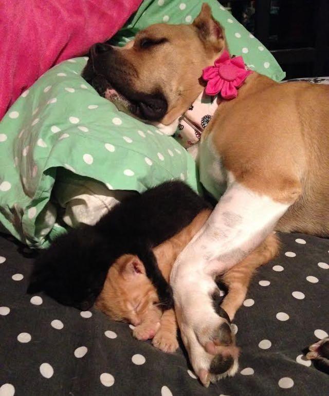 犬といっしょに眠る子猫