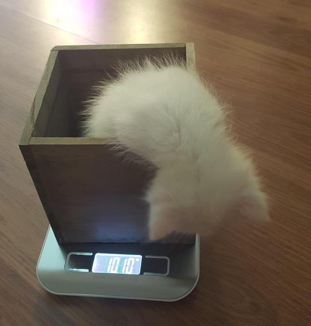 体重を計る子猫