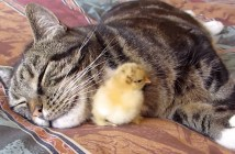 ヒヨコと猫