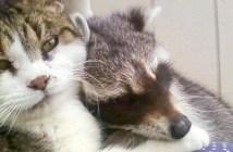 猫に懐くアライグマ
