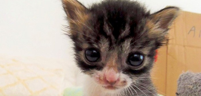 目の大きな子猫