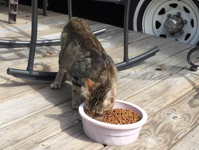 ご飯を食べにきた猫