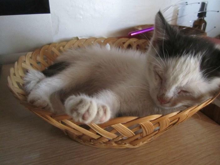 カゴで眠る子猫