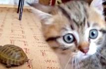 カメに興味津々の子猫