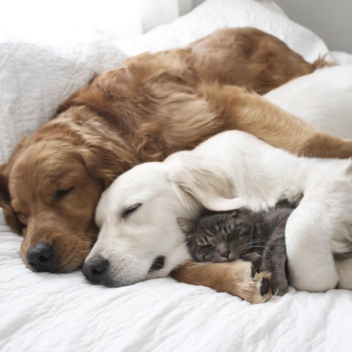 仲良しなゴールデンレトリバーと猫