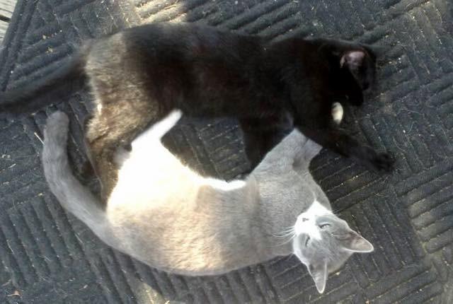 対称なポーズの猫