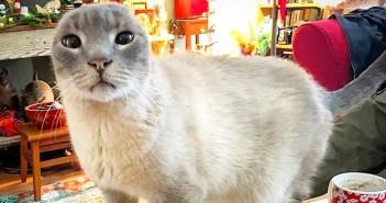 耳を失った猫