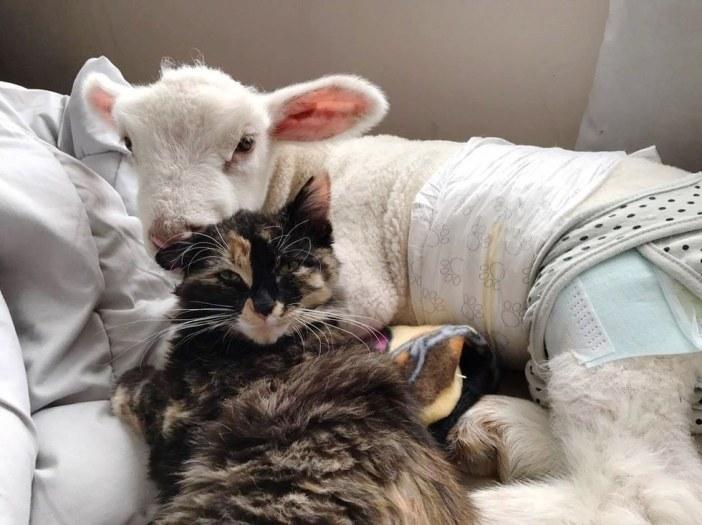 子羊に抱きしめられる猫