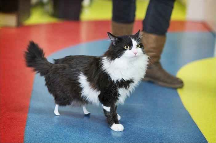 歩く義足の猫