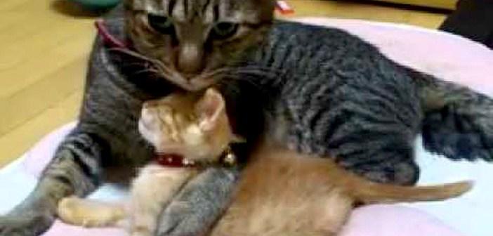 新入り子猫が可愛くて仕方ない兄猫。激しいハグに最初は抵抗していた子猫ちゃんでしたが… ( *´艸`)♡