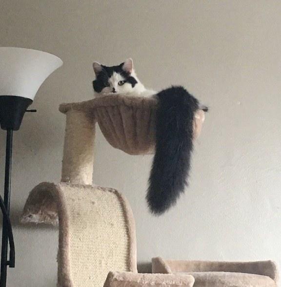 しっぽがふさふさの猫