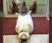 同居するニワトリ達に様々なポーズを見せるのが日課の猫。どうやらニワトリ達も興味津々のようで… ( *´艸`) 10枚