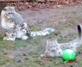 子供のボール遊びを見守るユキヒョウのお母さん。子供がボールから離れた瞬間に… 驚きの行動に出た ( *´艸`)♡
