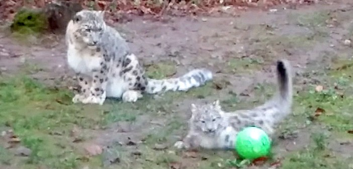 ボールで遊ぶユキヒョウの親子