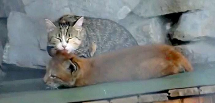 オオヤマネコを育てる猫