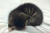 膝で丸くなる子猫