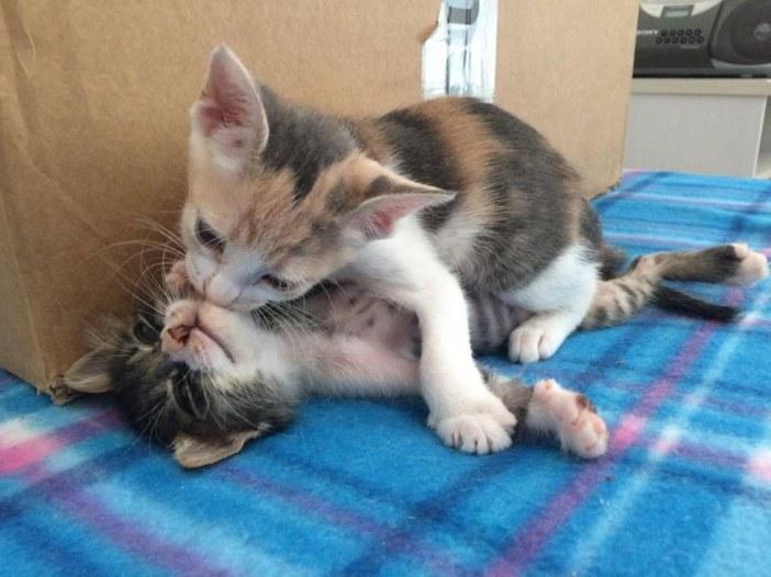 キスする子猫