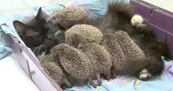 ハリネズミを育てる猫