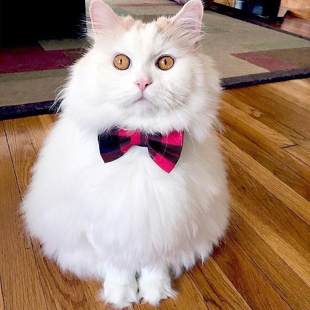 おめかし猫
