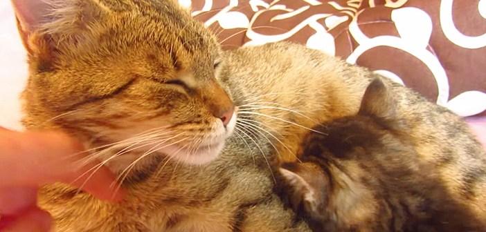 子猫にミルクを飲ませる母猫