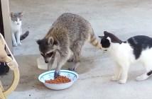 ご飯を食べに来たアライグマ