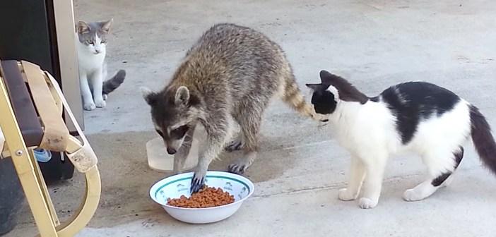 猫のお食事中に割り込んできたアライグマ君。人間の気配に気づくと… カリカリをごっそり握って猛ダッシュ (*゚0゚)!
