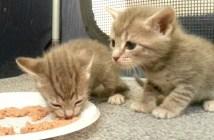 初めての離乳食に挑む子猫