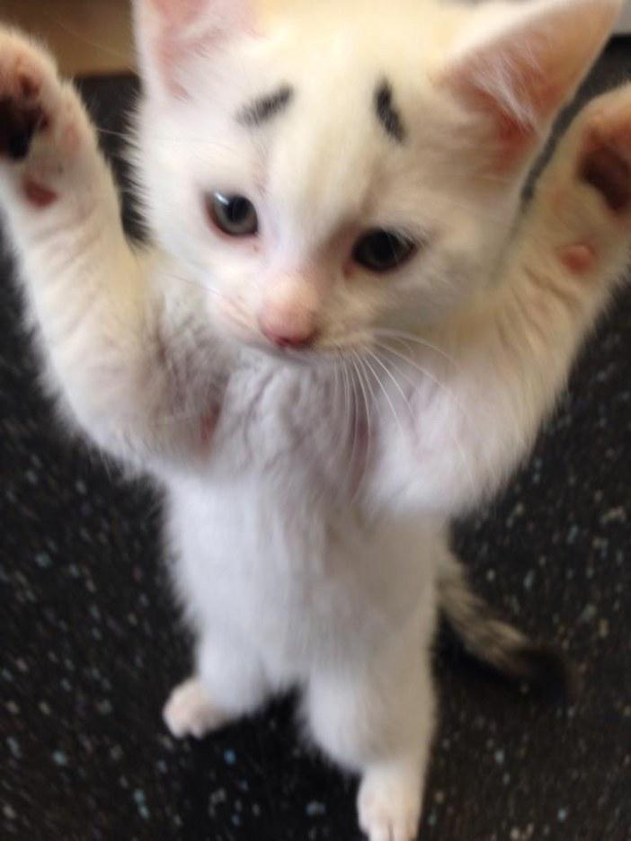 手をあげる子猫