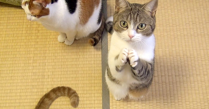 お願いポーズで一生懸命おねだりする猫さん。その仕草がとっても可愛かった (*´ェ`*)♡