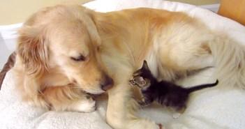 子猫を受け入れる犬