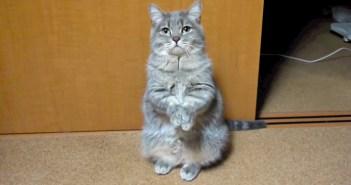 ご飯が欲しい猫
