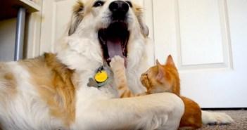 犬の舌に興味津々の子猫