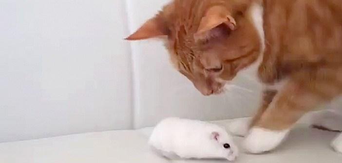 どこまでも突撃してくるハムスター。追い詰められた猫さんの反応がとっても面白かった ( *´艸`)♡