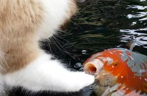 コイ好きの猫