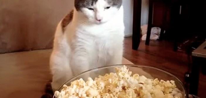 """出来立てのポップコーンに興味津々の猫さん。でもちょっと """"使い方"""" が間違っていました ( *´艸`)"""