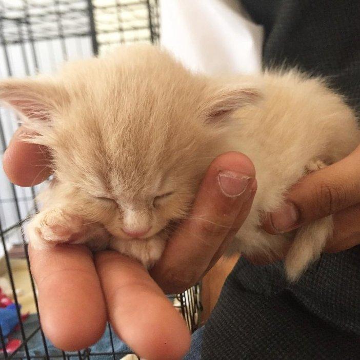 手のひら子猫