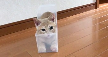 ケースの中でモゾモゾしていた子猫ちゃん。突然ぴょこんと飛び出して、プチ威嚇してくる姿が可愛すぎる ( *´艸`)♡