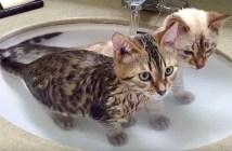 お風呂好きの子猫達